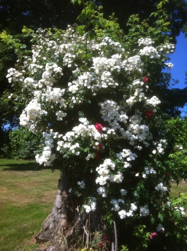 Rabling rector rose
