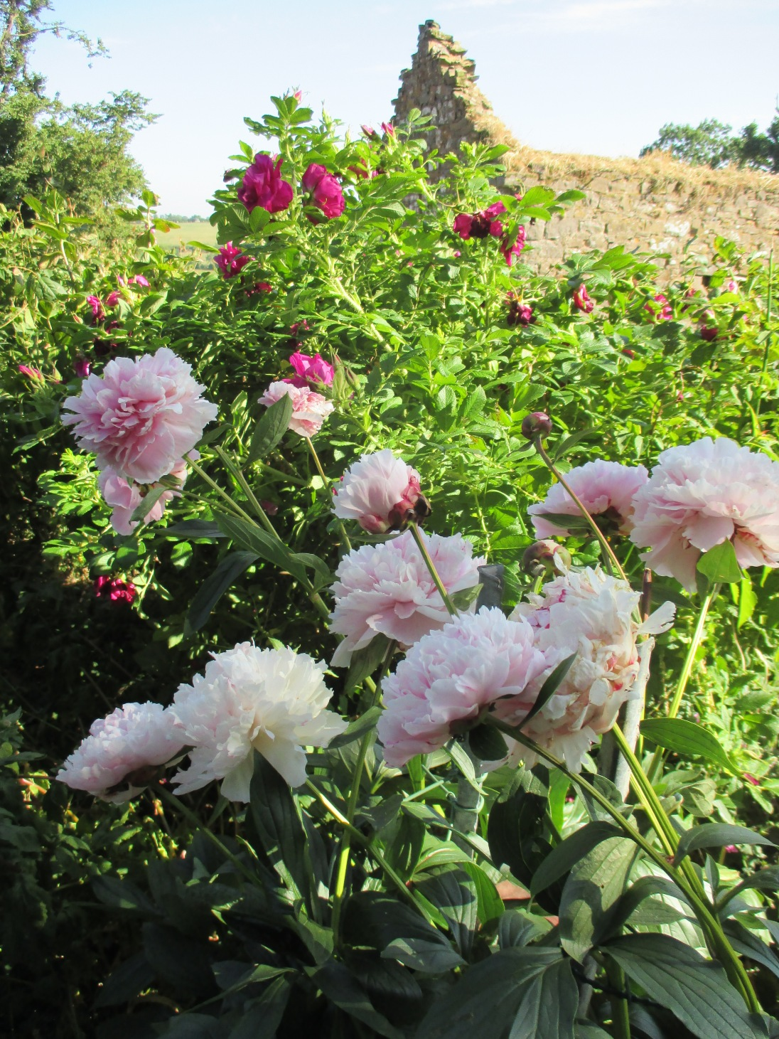 A pale pink peony in front of Rosa Rugosa