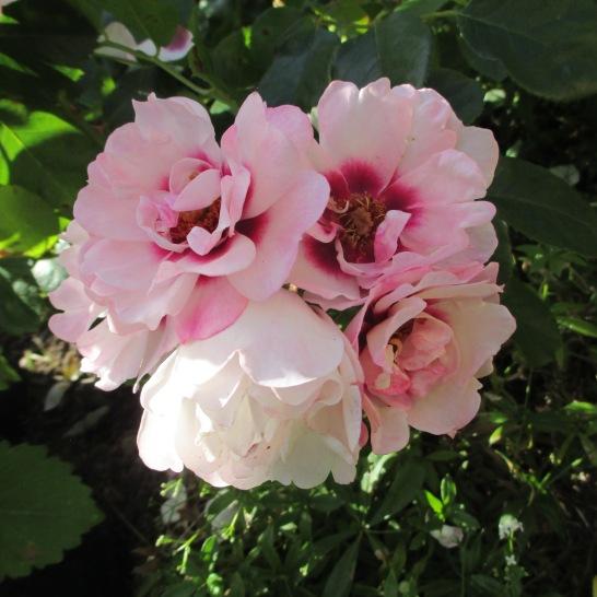 A persica rose