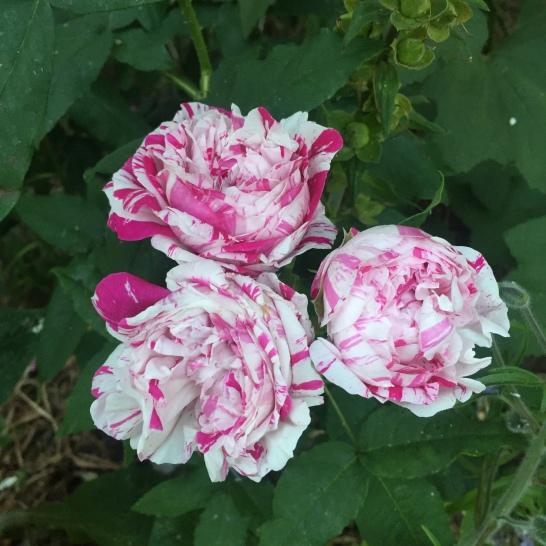 Bourbon rose Variegata di Bologna