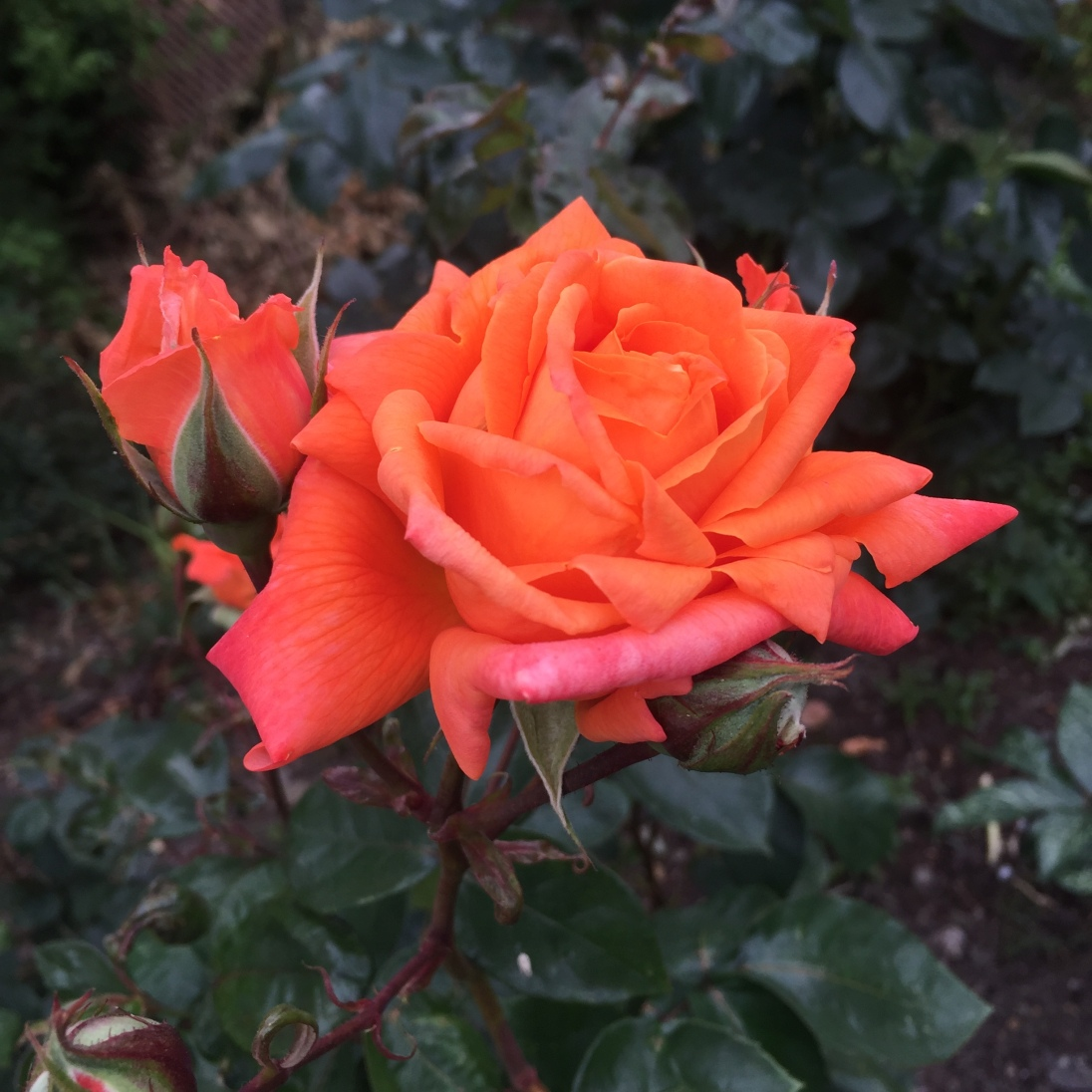 A slip from a rose in my Dad's garden