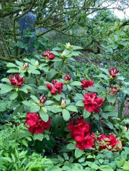 A rhododendron from my friend Sinead