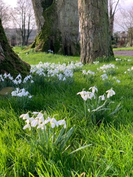 Snowdrops in the grass