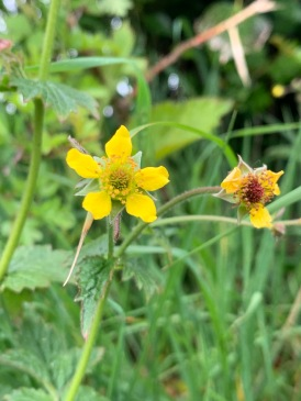 The yellow flowers of geum urban or wood avens