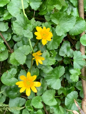 Yellow flowers of celandine